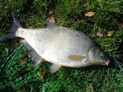 подлещик фото рыба