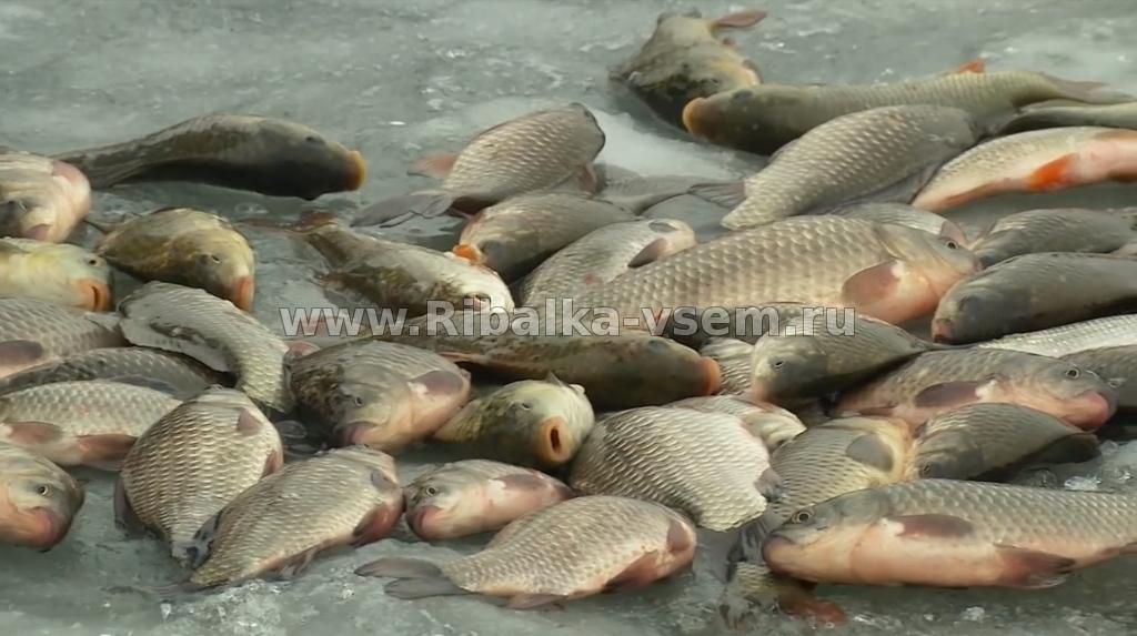 В эти моменты рыба щука наедается перед зимовкой.