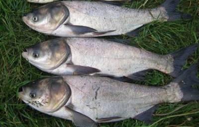 Как сделать снасти для ловли толстолобика
