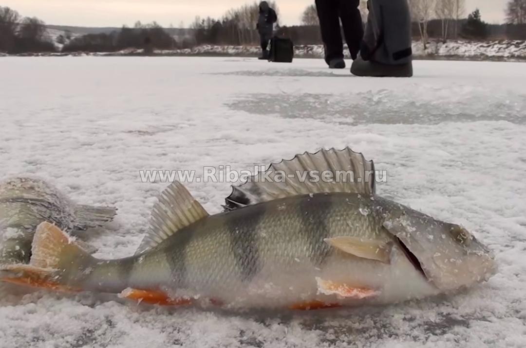 Хитрости зимней рыбалки, график ловли окуня зимой. график ловли окуня зимой рыболовов бытует