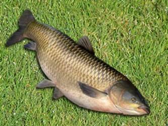 прикормка для амура русская рыбалка