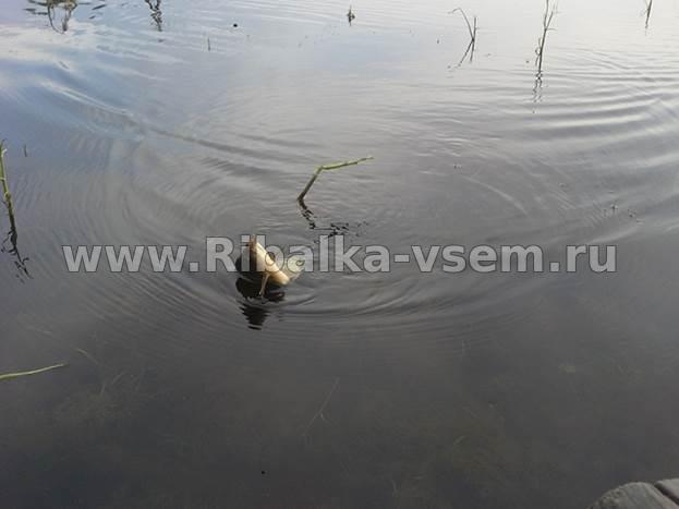 рыбалка на маховой удочкой на малых реках